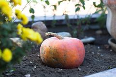 Fresh pumpkin in small garden Royalty Free Stock Photography