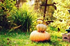 Fresh pumpkins in autumn garden Stock Images