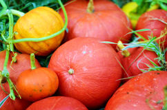 Fresh pumpkins Stock Photography