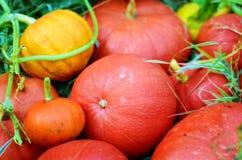 Fresh pumpkins. Close up of fresh colorful pumpkins Stock Photography