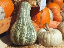 Fresh Pumpkins, Gourds And Squash Royalty Free Stock Images