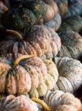 Pumpkins. Fresh pumpkins in an orderly from vegetable garden stock photos