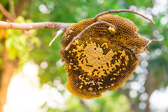 Fresh pure honey honeycomb Royalty Free Stock Images