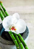 Fresh pure white orchid with green bamboo shoots Stock Photos