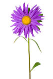 Fresh purple aster Royalty Free Stock Images