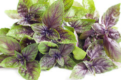 Fresh purple basil Stock Photos