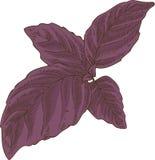 Fresh Purple Basil Stock Photography