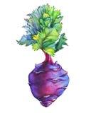 Fresh Purple Cabbage Kohlrabi With Green Leaves German Turnip. Stock Photo