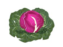 Fresh Purple Cabbage on A White Background Stock Photography