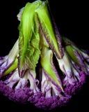 Fresh Purple Cauliflower. Fresh Raw Purple Cauliflower with Leafs Cross Section on Black background Stock Image