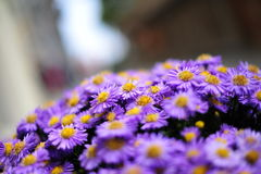 Fresh purple daisies Stock Photography