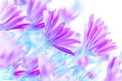 Fresh daisy flowers royalty free stock photos