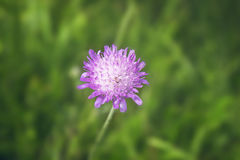 Fresh purple flower in the grass on a meadow Royalty Free Stock Photography