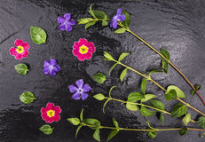 Fresh purple flower and green leaves with drops of water Royalty Free Stock Image