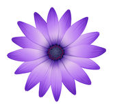 A fresh purple flower Stock Photo