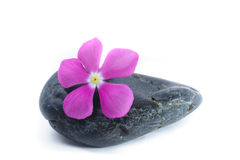 Fresh Purple Flower on Zen Stone, Spa Concept, White Background Stock Photography
