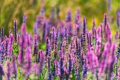 Fresh purple flowers of sage or Salvia divinorum. On meadow stock images
