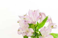 Fresh purple Peruvian lily (Alstroemeria) flowers isolated on white background royalty free stock photos