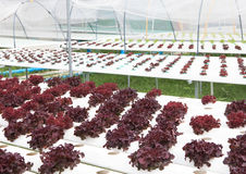 Fresh purple  hydroponics vegetable with water dew Stock Photos