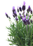 Fresh purple lavender flowers on white Stock Photography