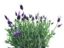 Fresh purple lavender flowers on white Stock Image