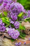 Fresh purple lilac flower bouquet on wood. Outdoors Stock Photos
