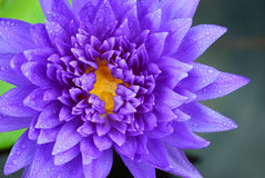 Fresh purple lotus Royalty Free Stock Images