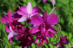 Fresh purple orchid flower Royalty Free Stock Photo
