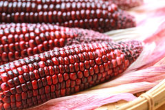 Fresh purple organic corn Stock Image