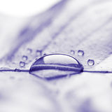 Fresh purple plant leaf with water drops close up Royalty Free Stock Photography