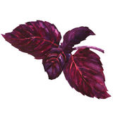 Fresh purple, red, basil leaves, isolated, watercolor illustration on white Stock Photo