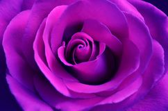 Fresh purple rose with open petals close-up Royalty Free Stock Images