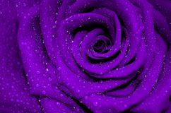 Fresh purple rose with open petals covered. With dew drops royalty free stock photos