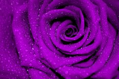 Fresh purple rose with open petals covered Royalty Free Stock Photography