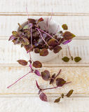 Fresh purple shiso. Sprouts in a bowl and on a white wooden table Royalty Free Stock Image