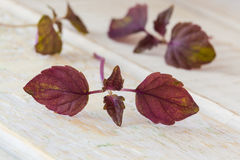 Fresh purple shiso. Sprouts in a bowl and on a white wooden table Royalty Free Stock Photo