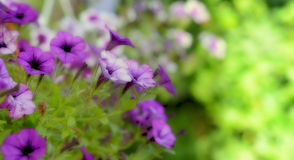 Fresh purple spring flower Royalty Free Stock Photography