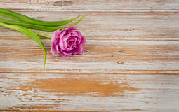 Fresh purple tulip on a old  wooden background Royalty Free Stock Images