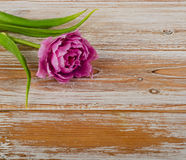 Fresh purple tulip on old  wooden background Royalty Free Stock Photos