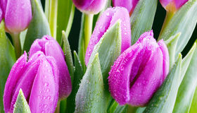 Fresh purple tulips Stock Image