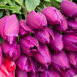 Fresh purple tulips. With water-drops Royalty Free Stock Image
