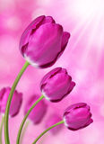 Fresh purple tulips. On purple background Stock Photography