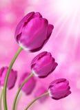 Fresh purple tulips Stock Photography