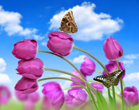 Fresh purple tulips. With butterflies Stock Images
