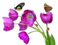 Fresh purple tulips Stock Images