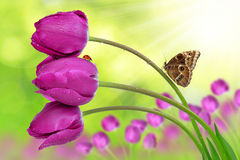 Fresh purple tulips. With butterfly Royalty Free Stock Photos