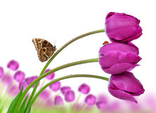 Fresh purple tulips with butterfly. Isolated on white Stock Images
