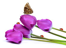 Fresh purple tulips. With butterfly and ladybugs isolated on white Stock Image