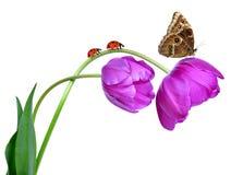 Fresh purple tulips Royalty Free Stock Photography