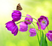 Fresh purple tulips with butterfly morpho Royalty Free Stock Photography